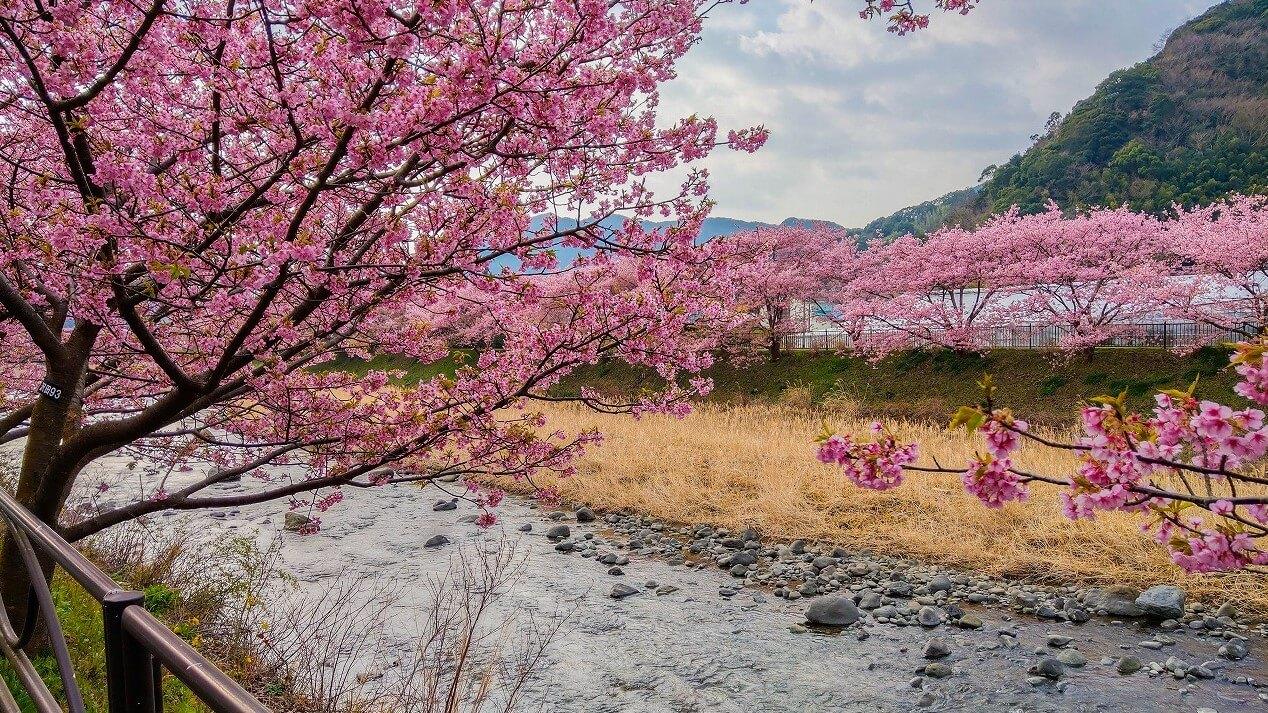 河津桜まつり 河津川の上からの眺め