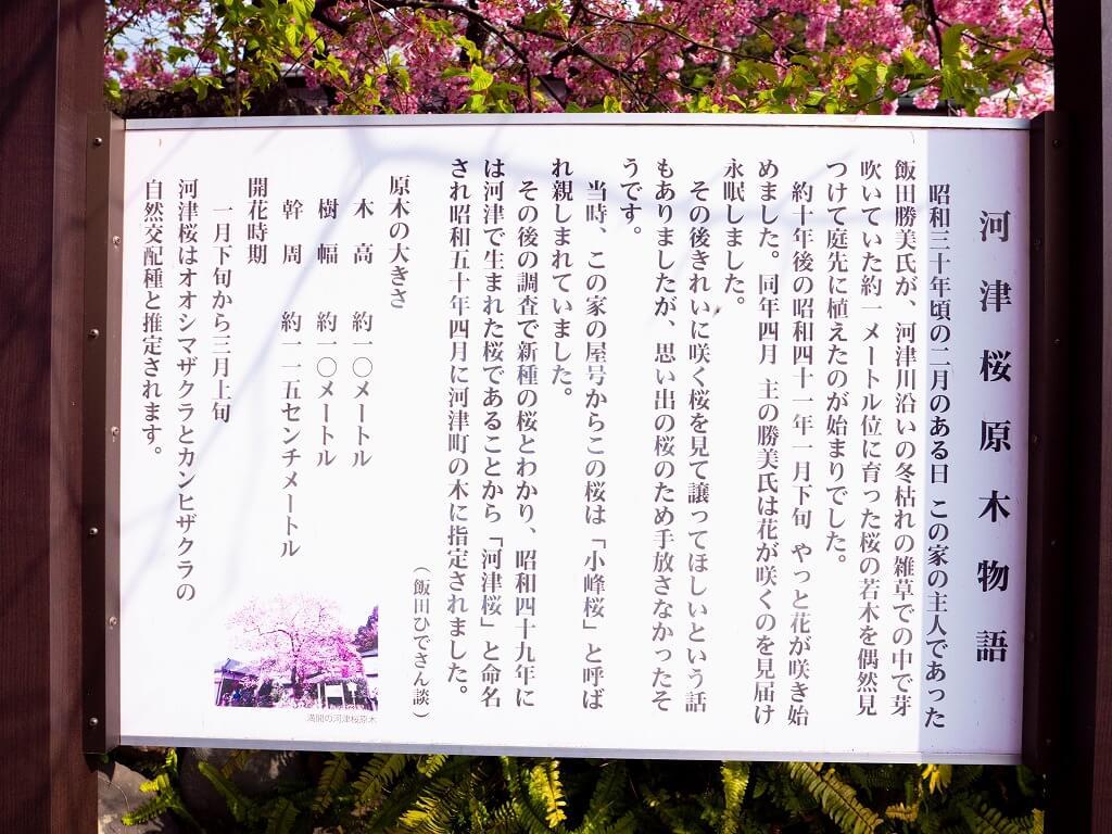 河津桜の原木 説明
