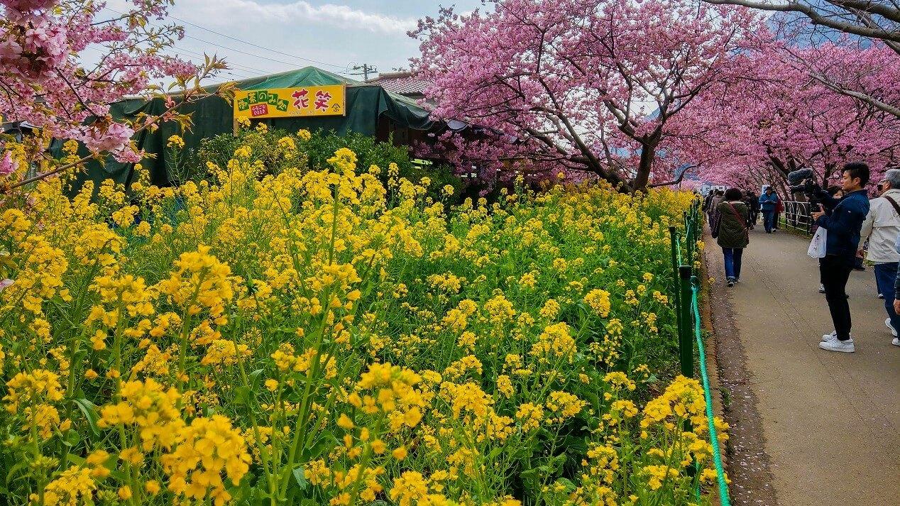河津桜まつり 菜の花ロード