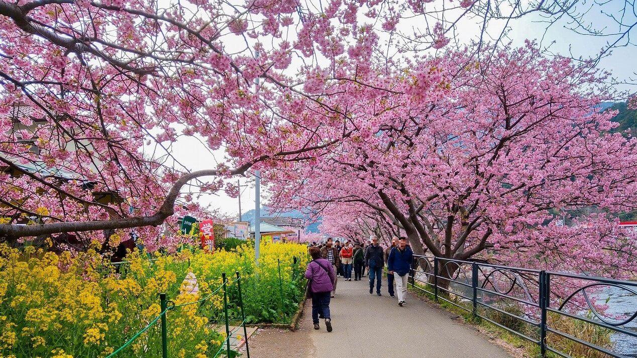 河津桜まつり 菜の花ロード 混雑