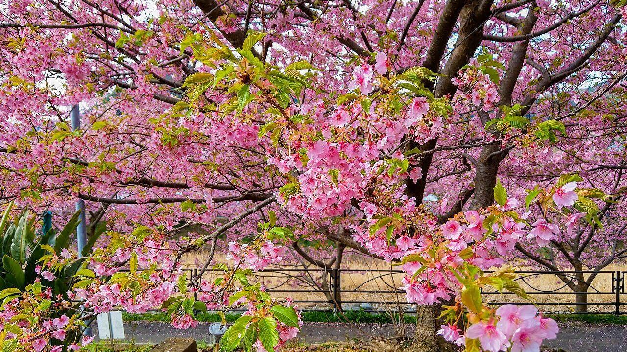 葉っぱの混ざった河津桜