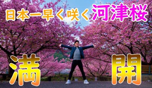 河津桜まつりで2019年の春を先取り!2月に開花する早咲きの桜を満喫してきました