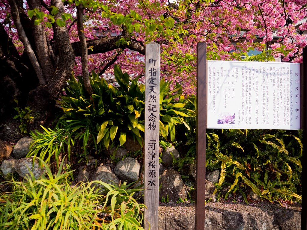 河津桜の原木 町指定天然記念物