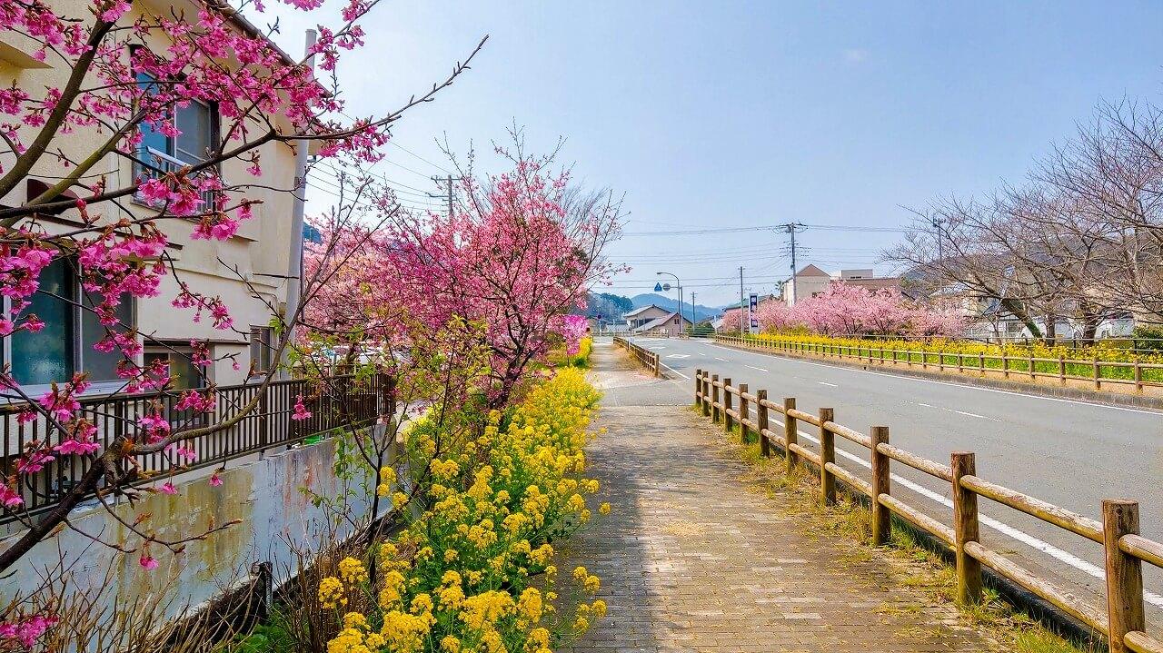 南伊豆 下賀茂 道路沿いに咲く河津桜と菜の花