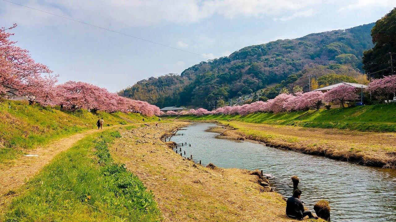 みなみの桜と菜の花まつり 青野川から眺める河津桜