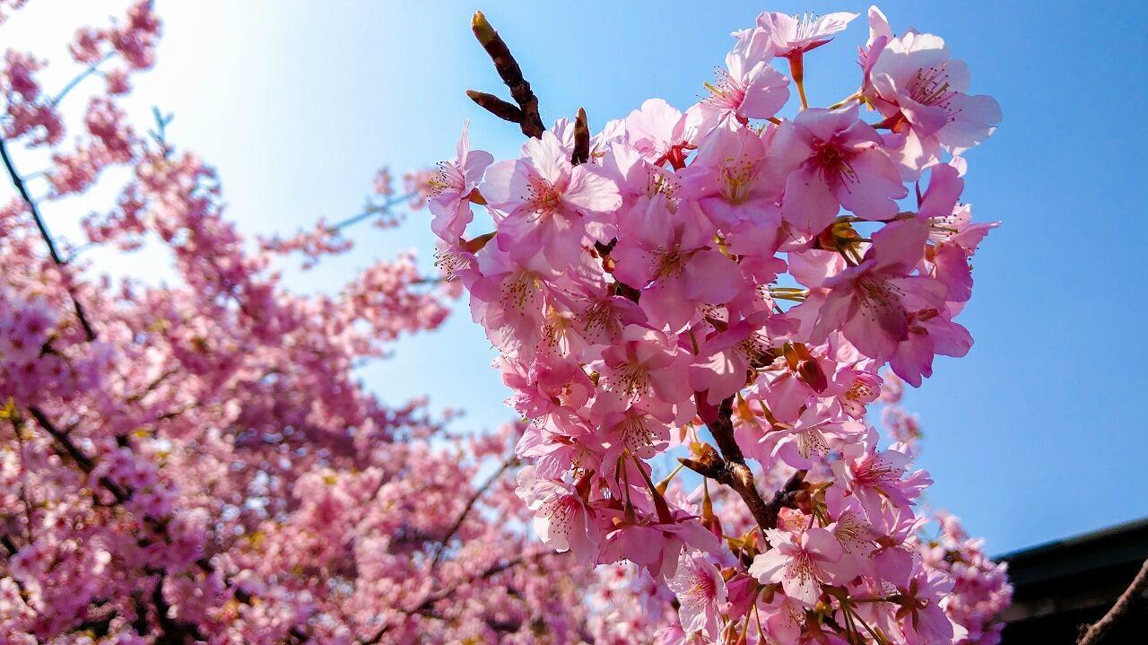 みなみの桜と菜の花まつり 満開の河津桜