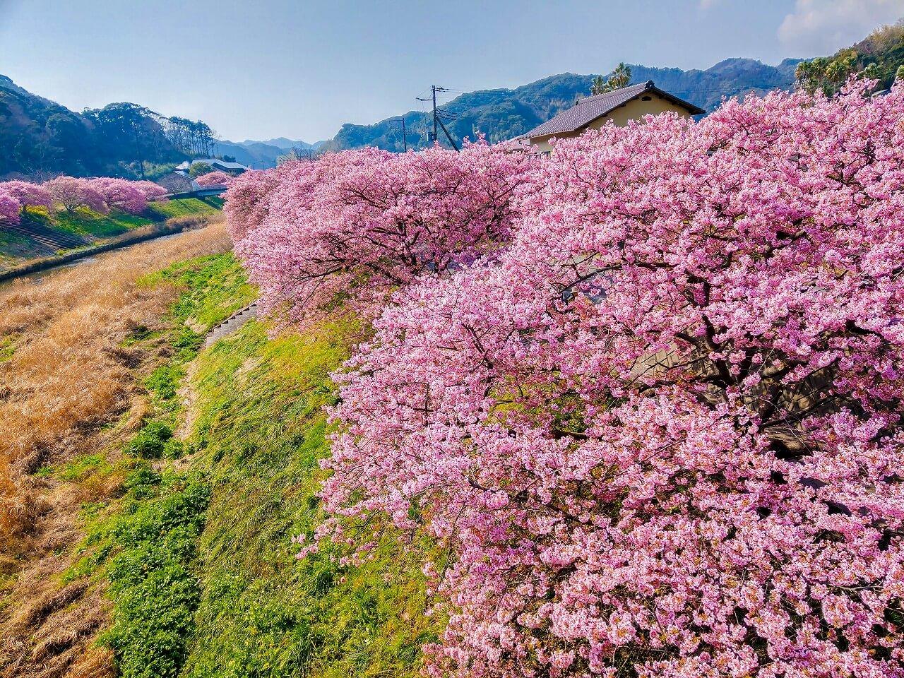南伊豆下賀茂 湯けむり橋から見た河津桜