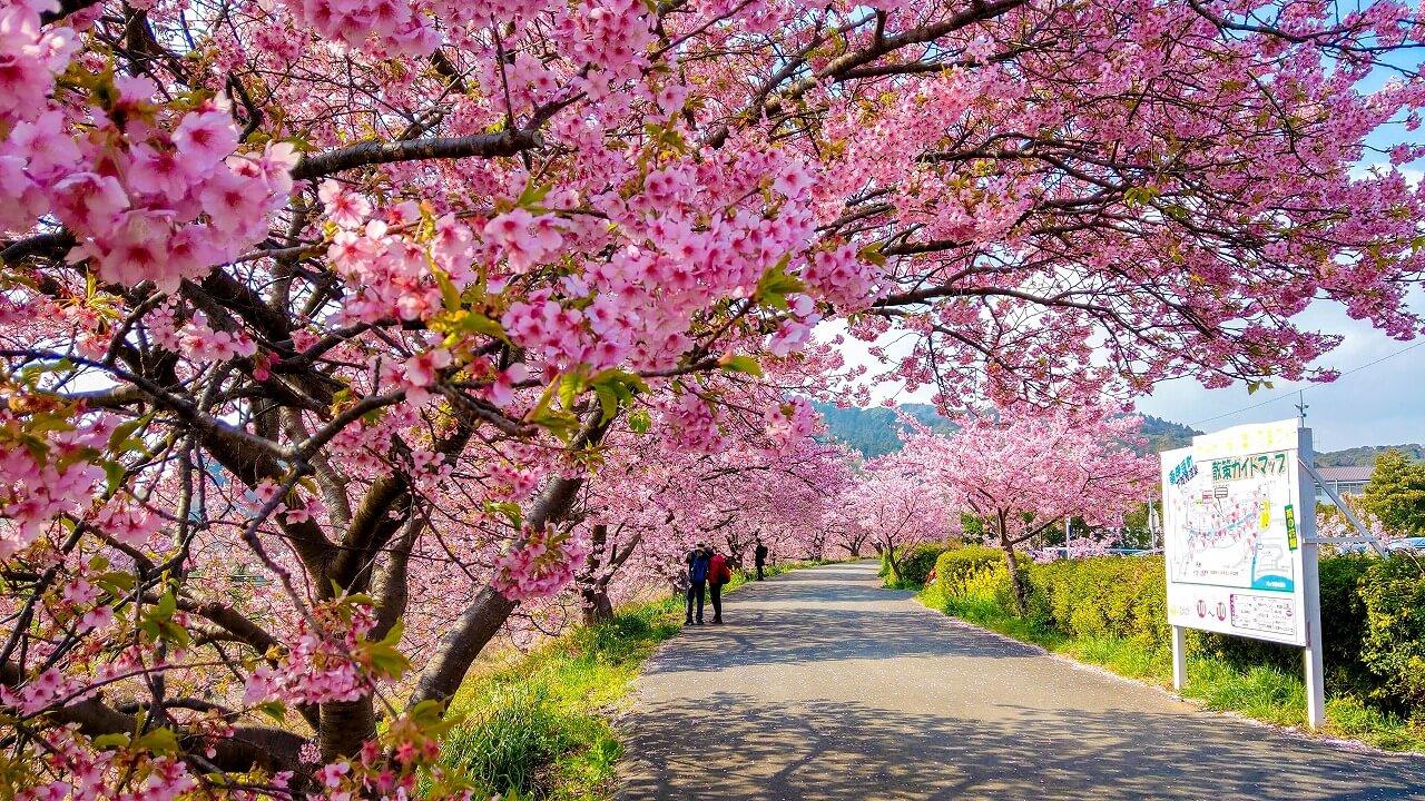 みなみの桜と菜の花まつり 桜のトンネル
