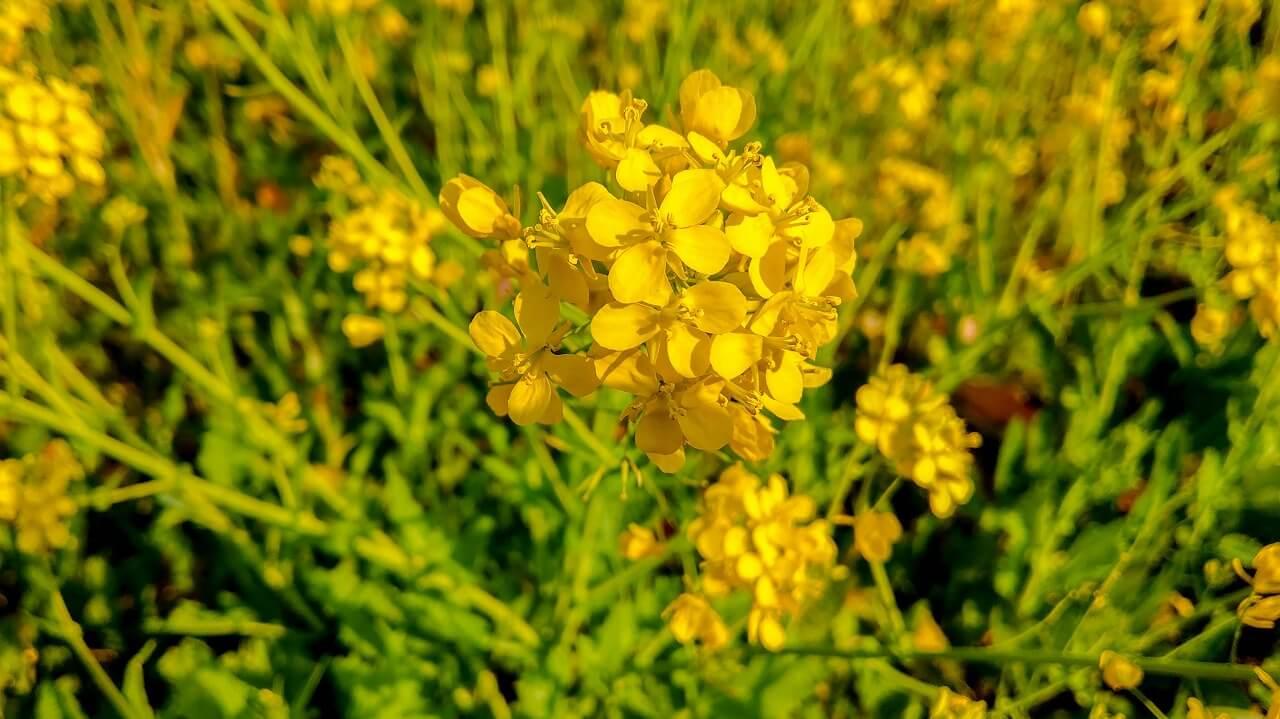 日野の菜の花畑 菜の花 アップ