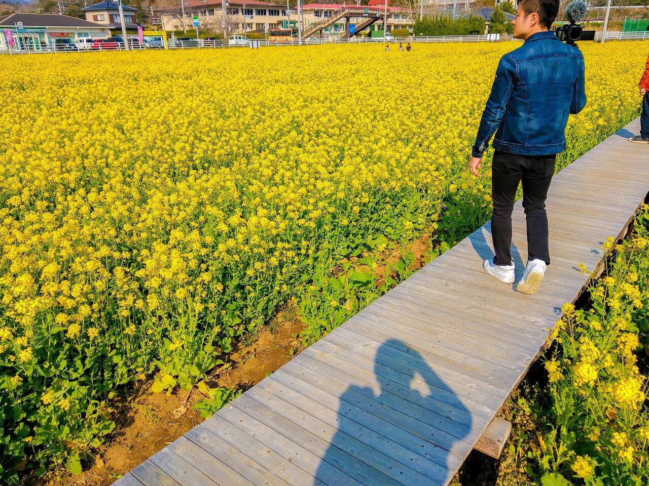 日野の菜の花畑 木でできた歩道