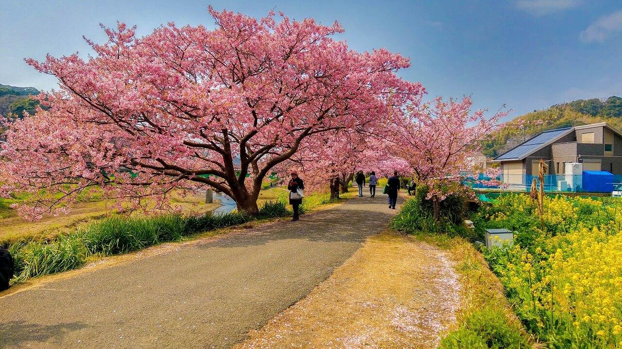 みなみの桜と菜の花まつり 青野川 遊歩道の桜と菜の花