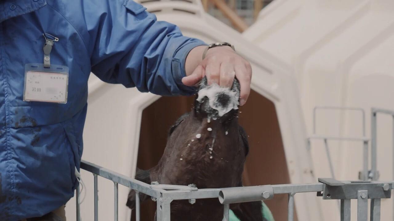 まかいの牧場 飼育員の指を舐める仔牛