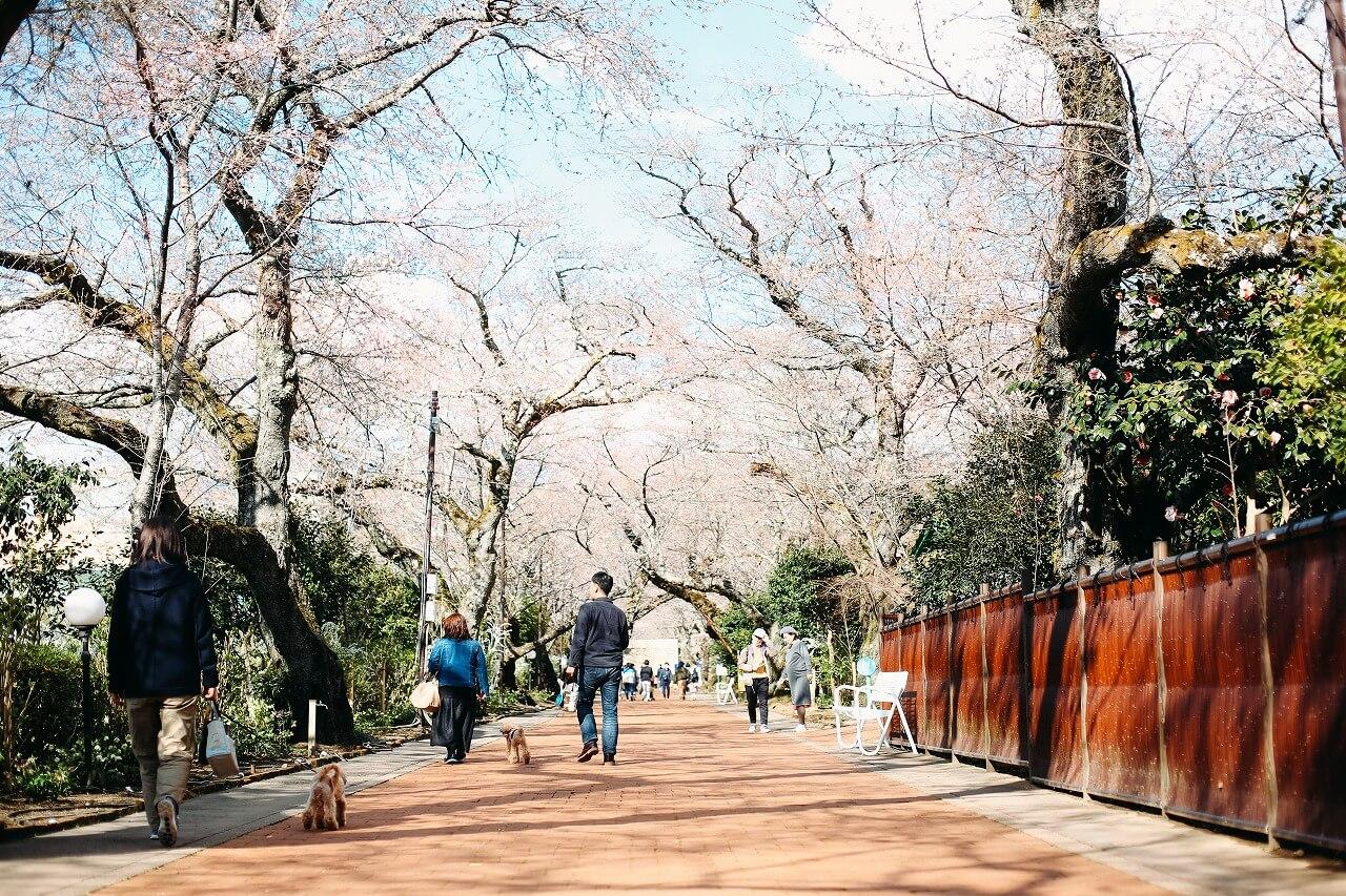 御殿場高原時之栖 桜のトンネル